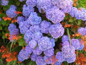 file hydrangea purple blue hydrangea macrophylla jpg wikimedia commons