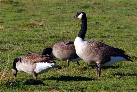 Goose L geese el space the of l