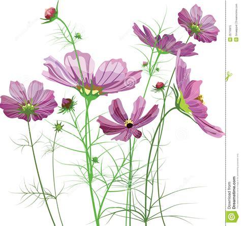 vector garden flowers cosmos bipinnatus royalty free