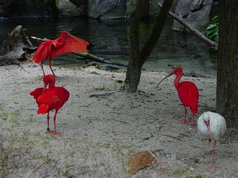 Scarlet Ibis Book Report by Tree Of Picture Of Disney S Animal Kingdom Orlando