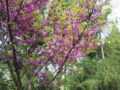 fiori dell coltivazioni forestali albero di giuda