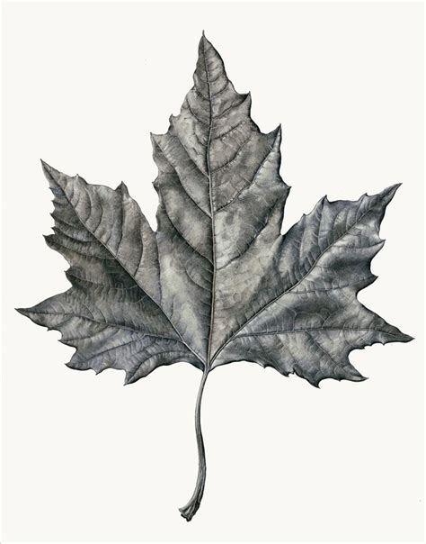 Drawing Leaves by 25 Best Ideas About Leaf Drawing On Leaf