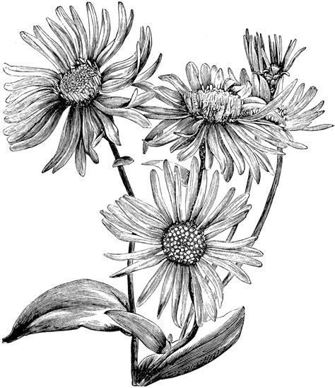 aster flower tattoo aster flower drawing isaac birth flower print