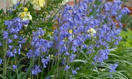 english bluebell bulbs groupon goods