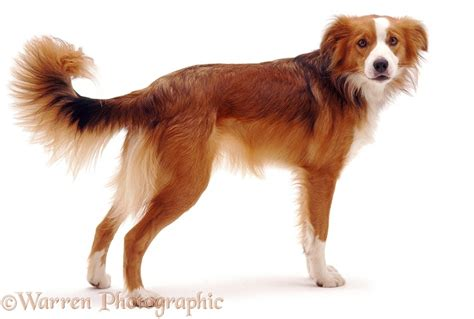 Dog: Border Collie standing photo WP04826