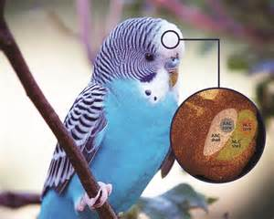 why parrots can talk pet birds by lafeber co
