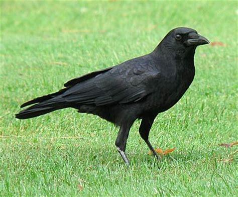crows and ravens in australia australia