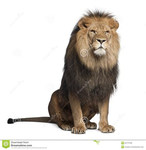 google images lion sitting lion google search circus pinterest lions