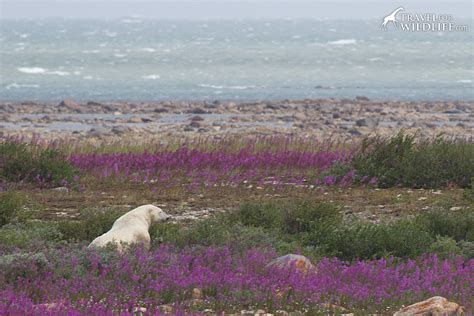 polar in the fireweed travel for wildlife