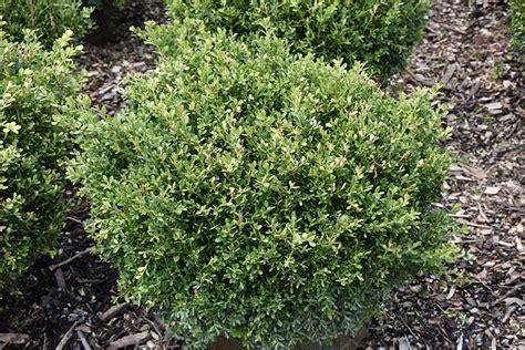 Olive Garden Gahanna by Franklin S Gem Boxwood Buxus Microphylla Franklin S Gem