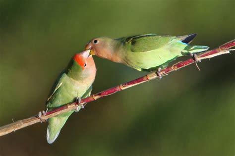 pappagalli inseparabili alimentazione alimentazione roseicollis