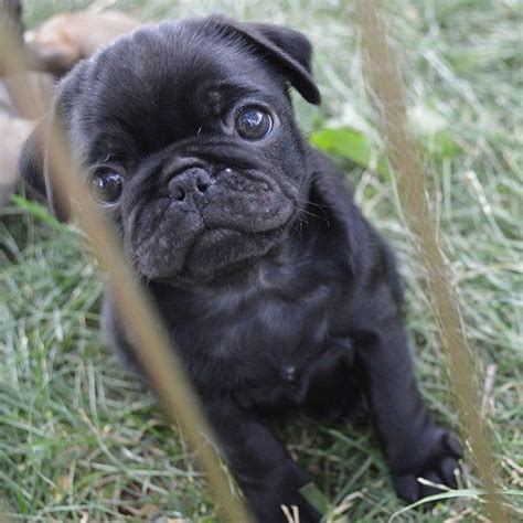 baby pugs for sale cheap 17 best images about whateves on preserve amigos and pug