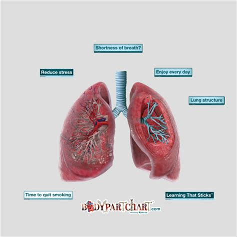 cross section of lung lungs cross section bodypartchart official site