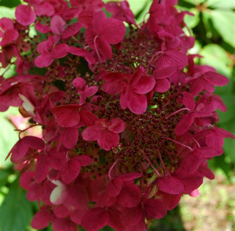 rispenhortensie wims buy hydrangea hydrangea paniculata wim s pbr