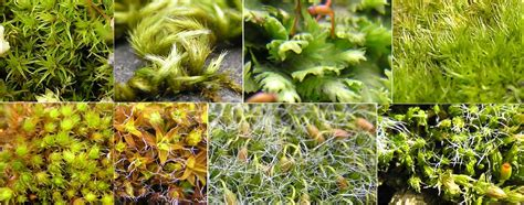 how many types of mosses are there plant divisions mosses liverworts and hornworts tentative plant scientist