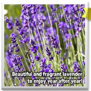 planting lavender or buying it