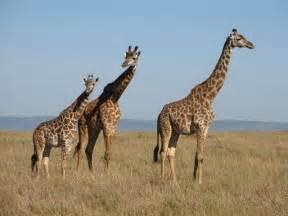 encyclop 233 die larousse en ligne girafe