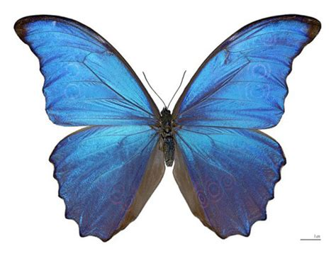 Butterfly Wings iridescent butterfly wing properties to lead to better