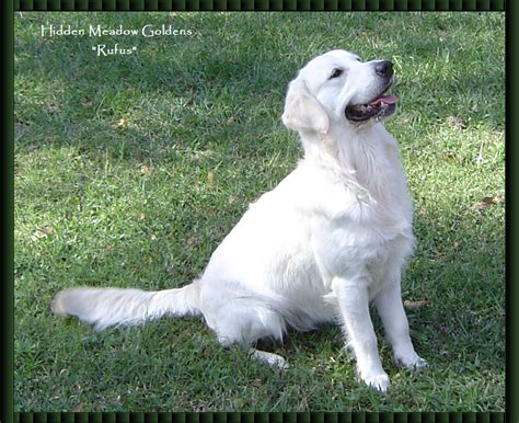 white golden retriever meadow white golden retrievers quot rufus photo gallery quot