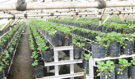 membuat rumah jahe cara menanam strawberry di polybag halaman rumah