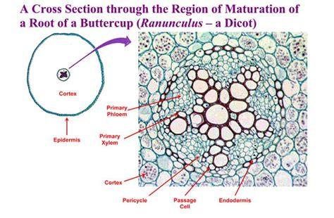 ranunculus stem cross section plant anatomy biology 121 with matzner hall at augustana