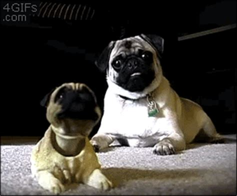 pug bobblehead ended diy flavor shack january giveaway 2 maybe 3 winners chosen weekly page 3