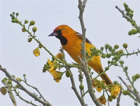 image gallery orange oriole