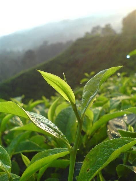 Teh Pucuk Kecil taman nasional gunung halimun salak perkebunan teh nirmala legokjeruk citalahab curug piit