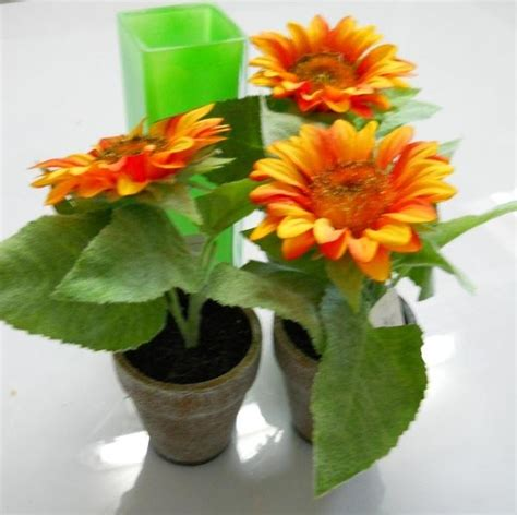 girasole in vaso girasole in vasetto san michele di ganzaria catania
