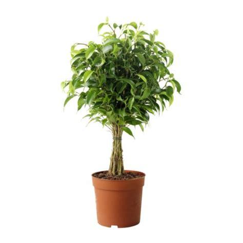 ficus interior ficus benjamina cultivo riego y cuidados plantas