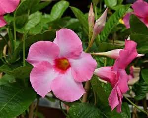 Flower And Patio Show Gardensonline Mandevilla Splendens Syn Dipladenia Splendens