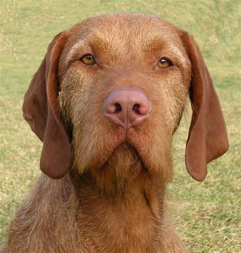 wirehaired vizsla puppies 42 best images about wire haired vizsla on hunters smooth and beards