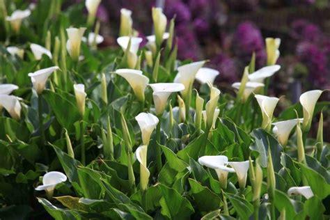 fiori calle significato calla significato dei fiori linguaggio dei