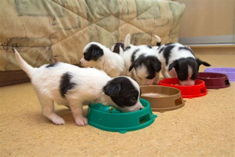 how to wean a puppy when should puppies really be weaned pets4homes