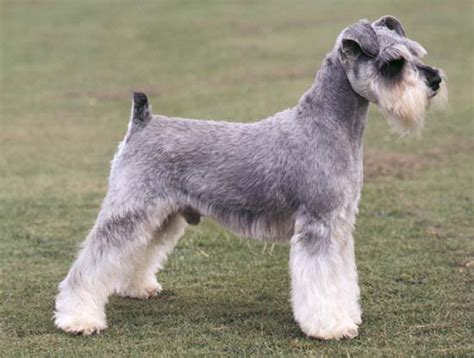 Mini Encyclopedia Dogs Explore The Wonderful World Of Dogs Ency Min schnauzer britannica