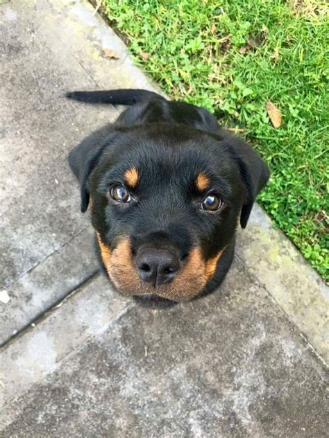 selling rottweiler puppies 25 best ideas about rottweiler puppies on baby rottweiler rottweiler