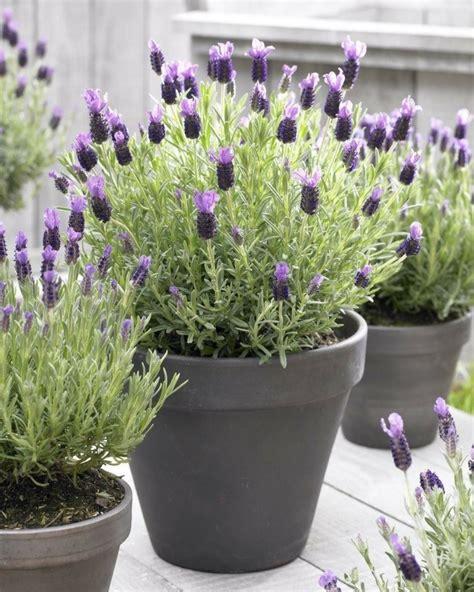 lavendel als zimmerpflanze 12 zimmerpflanzen f 252 r positive energie zu hause