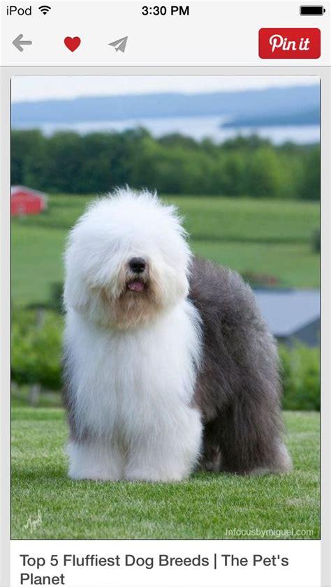 big fluffy dogs big fluffy puppies big fluffy dogs
