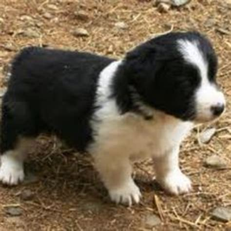 borgi puppies for sale 1000 images about borgi puppies on border collie corgi mix border