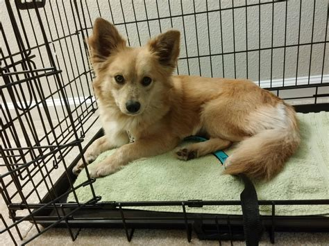fox mix our quot fox quot finley he s a corgi pomeranian mix aww