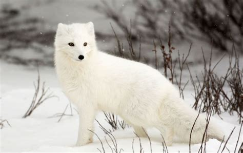 junior tierquiz zum polarfuchs junior die