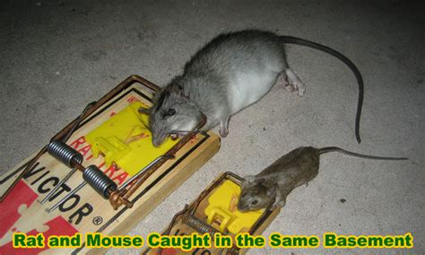 mice in basement how can i get rid of mice in my basement ants studio
