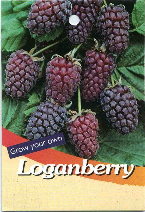 Wholesale Fruit Trees - loganberry buy loganberry loganberry cultural notes