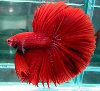 Ikan Hias Cupang Half Moon Biru Hijau Kuning Size Xl 6 Jenis Ikan Cupang Hias Dan Aduan Yang Mahal Dan Terbaik