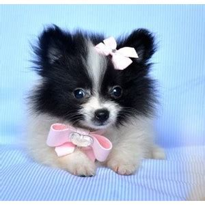 teacup pomeranian sale cheap pomeranian puppies for sale florida