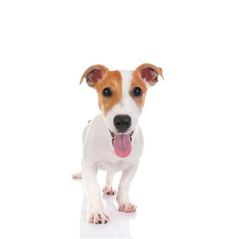 imagenes perros jack russell terrier jack russell terrier caracter 237 sticas y fotos