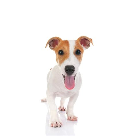 Imagenes Of Jack Russell | jack russell terrier caracter 237 sticas y fotos