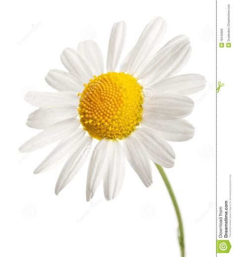 fiore camomilla fiore della camomilla isolato fotografia stock libera da
