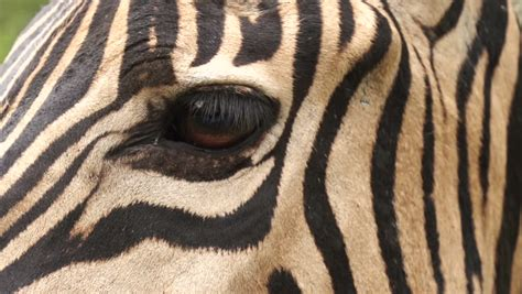 zebra pattern in camera close up of the zebra looking in the camera stock footage