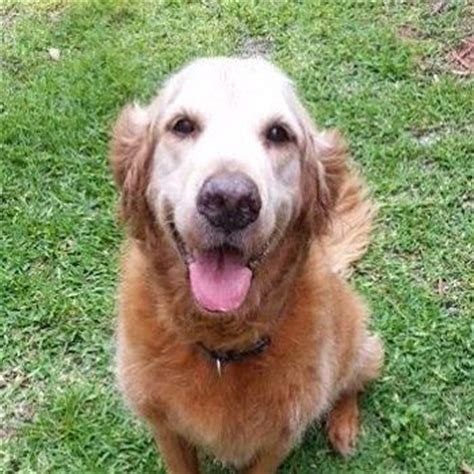 golden retriever weight by age zeus archie 3388 golden retriever rescue of mid florida